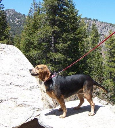 gertie beagle
